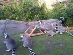 See-saw. Would be great for the goats, also lemurs, monkeys, Tristan and Penny might like it too.