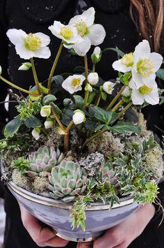 Hellebore and succulent echeveria