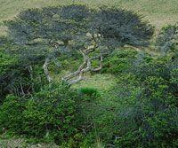 En el subpáramo se presenta una gran diversidad de arbustos.  Algunos como el rodamonte, Escallonia myrtilloides, forman pequeños bosques.