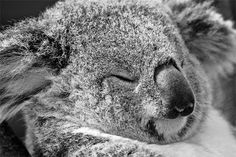 Close up face sleeping koala photography