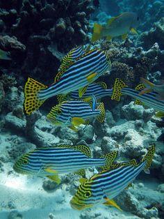 striped fish....blue-greens
