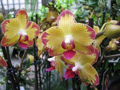 Phalaenopsis Papagoya