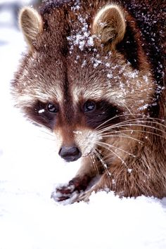 Raccoon in the snow.