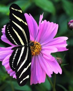 Butterfly Zebra Longwing Butterfly I remember the first time I saw one! They are so strikingly beautiful and unusual.Zebra Longwing Butterfly I remember the first time I saw one! They are so strikingly beautiful and unusual. Papillon Butterfly, Butterfly Kisses, Butterfly Flowers, Butterfly Wings, Beautiful Butterflies, Beautiful Birds, Animals Beautiful, White Butterfly, Butterfly Chrysalis