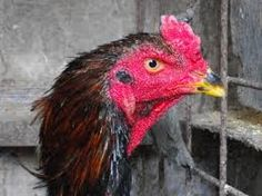「軍鶏」の画像検索結果