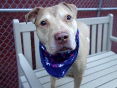 Manhattan Center ZINC – A1070868 WHITE, AM PIT BULL TER MIX, 6 yrs STRAY – ONHOLDHERE, HOLD FOR ID Reason STRAY Intake condition EXAM REQ Intake Date 04/19/2016, From NY 10456, DueOut Date 04/27/2016, I came in with Group/Litter #K16-054232.