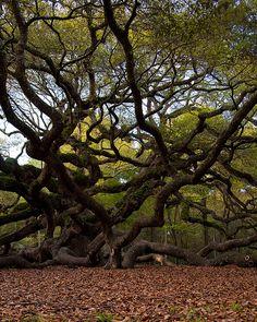 """Angel Oak tree"" near Charleston, SC on John's Island."