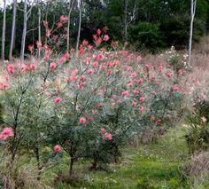 A row of 'Ameleia Jane ' Grevillea via Grevileas mostly fb page
