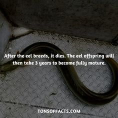 After the eel breeds, it dies. The eel offspring will then take 3 years to become fully mature. Dolphin Facts, Whale Facts, Dinosaur Facts, Lion Facts, Tiger Facts, Cat Facts, Fun Facts About Animals, Animal Facts, Elephant Facts