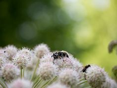 Bumblebee and a fly on wild angelica