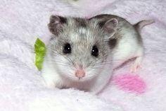 Cute Hamster | Having a hamster as a pet