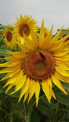Sonnenblume Plants, Sunflowers, World, Plant, Planets