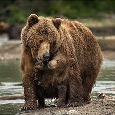 """Photography by: @roiegalitz ....... """"Motherhood, the beauty of nature between a female Brown Bear and her cub"""" #wildlives"""