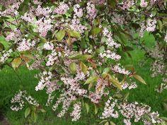 Purppuratuomi.Korkeus:5–8 metriä.Tuomi kasvaa hyvin nopeasti ensimmäiset 20–25 vuotta ja elää keskimäärin 60 vuotta.Latvus on usein epäsäännöllinen ja vanhan puun oksisto riippuu hieman.Lehdistö: Alkukesällä aurinkoisella paikalla punaruskea,mutta vihertyy hieman kesäksi.Syysväri tummanpunainen.Vaaleanpunaiset,tuoksuvat kukkatertut toukokuun lopussa.Kasvupaikka: Aurinko–puolivarjo,tuore–märkä,keskiravinteinen.Purppuratuomisietää hyvin seisovaa vettä ja varjoa sekä kohtalaisesti tuulta.