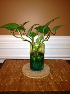 How to Propagate a Pothos - you don't need soil to grow this houseplant. Learn how to grow pothos cuttings in plain old water.