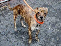 TO BE DESTROYED 06/16/15 - +++ Rescue Only+++ My name is KING. My Animal ID # is A1039541. I am a male br brindle and white chihuahua sh mix. The shelter thinks I am about 3 YEARS old. I came in the shelter as a OWNER SUR on 06/10/2015 from NY 10472, owner surrender reason stated was OWNER DIED.