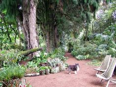 Building up the planting areas beneath huge rimu trees Dry Shade Plants, Shades, Planting, Trees, Garden, St Ives, Building, Plants, Garten