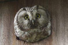 Tengmalm's Owl.
