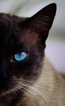 Kat, Siamees, Blauw, Oog