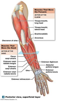 The muscles that move the forearm. Forearm Muscle Anatomy, Human Muscle Anatomy, Forearm Muscles, Human Anatomy And Physiology, Anatomy Body Parts, Anatomy Bones, Anatomy Study, Anatomy Reference, Muscular System Anatomy
