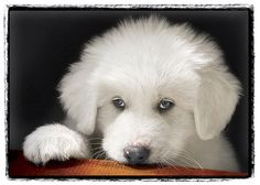 Portrait of 16 week old Great Pyrenees puppy. INSIDE Card:A journey of a thousand miles begins with a single step. Pyrenees Puppies, Great Pyrenees Puppy, Big Dogs, I Love Dogs, Beautiful Dogs, Animals Beautiful, Cute Puppies, Cute Dogs, Baby Animals