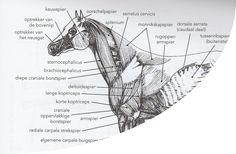 Als wat met je paard wil doen word vanuit dit gedeelte aangestuurd maar ook vaak misbruikt door gebrek aan kennis
