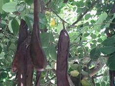How to Harvest Fresh Raw Carob Pods out of a Ceratonia Siliqua Tree