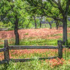 Field of Texas Paintbrush