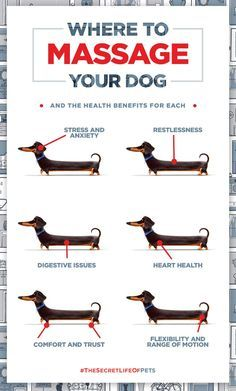 Dachshund puppies care Buddys Guide on where to massage your dog and the health benefits for each. The Secret Life of Pets In Theaters July 8 Dog Health Tips, Pet Health, Mental Health, Health Care, Secret Life Of Pets, Dachshund Love, Daschund, Dachshund Puppies, Chihuahua