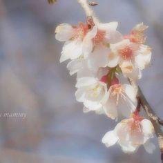 【milky_mammy】さんのInstagramをピンしています。 《2017.01.09  おっはようございます✧‧˚ * 実家近くで見つけた冬桜*❀٭ * * 新成人のみなさま... おめでとぉございます.•*¨*•.¸¸♬ * いつまでも『夢』や『目標』を持った人であって下さい...ってオバチャンは思いますデス(๑˘ᴗ˘๑) * * #桜#冬桜#cherryblossom #splendid_flowers #tv_flowers #ig_discover_petal #igscflowers #flowersandmacro #great_flowers #rainbow_petals #_lovely_weekend #whim_fluffy #wp_flower  #9vaga_softflowers9 #9vaga9#airy_pics #jr_loveflower #loves_garden #bella_pastels  #pasandha_flowers #lovely_flowergarden #awesome_florals…