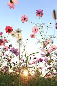 Cosmos flower with blue sky - null