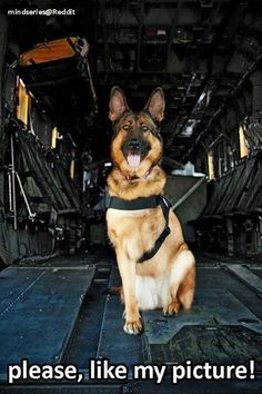 This is Lucca, Lucca is an amputee veteran who served six years in the United States Marines Corps as a Specialized Search Dog. A furry hero, but still a hero. Military dogs are brave and save lives Military Working Dogs, Military Dogs, Police Dogs, War Dogs, Cute Puppies, Cute Dogs, Dogs And Puppies, Doggies, Funny Dogs