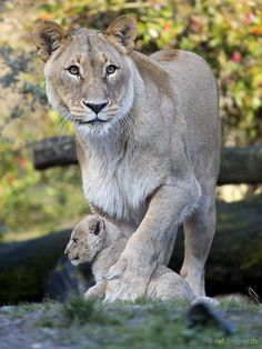 Big Cats & Adorable Cubs - Bears, Lions, Tigers & More! Cool Cats, Big Cats, Animals And Pets, Baby Animals, Cute Animals, Mundo Animal, My Animal, Beautiful Cats, Animals Beautiful