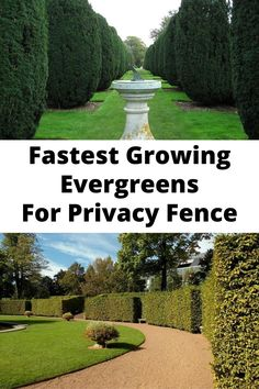 The needs and reasons for a privacy hedge are endless. Growing a living privacy fence can block out unsightly features in a landscape.  Different shrubs are great for blocking out or dampening sound from a nearby highway or a noisy neighbor. Living Privacy Fences, Privacy Hedge, Evergreen Trees For Privacy, Evergreen Shrubs, Garden Tips, Garden Ideas, Noisy Neighbors, Fast Growing Evergreens, Down South