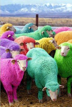 In Scozia, un pastore ha tinto le sue pecore per far sorridere la gente di passaggio.  Lo bacerei.  #mmgFantasia/04 pic.twitter.com/pEuWH6v9Wl
