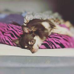 何処に行ったのかと思ったらベットで枕使って寝てる😍 ホントれおんちゃん可愛すぎ😍❤️ #チワワ #チワワ部 #デカチワワ #愛犬 #可愛すぎ #どーしてこんなに可愛いの #3歳 #多頭飼い #多頭飼い犬 #チワックス #いぬバカ部 #いぬすたぐらむ #癒し #ペットなしでは生きていけない  #大好き