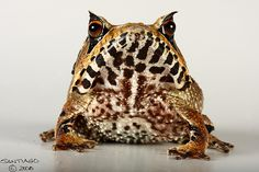 Amazonian horned frog by Santiago Ron