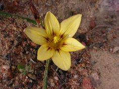 Romulea sphaerocarpa