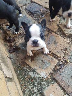 French Bulldog Puppy, so little ; )