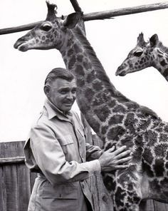 """""""Making Friends…with a pair of baby giraffes that appear with him in M-G-M's """"Mogambo"""", Clark Gable quickly learned the long-necked animals make gentle, affectionate pets.  Gable and Ava Gardner are co-stars of the thrilling adventure picture, filmed in Technicolor during an actual 10,000-mile safari through the jungles and bush county of Kenya, Tanganyika, Uganda and French Equatorial Africa.  """"Mogambo"""" was directed by John Ford and produced by Sam Zimbalist."""""""