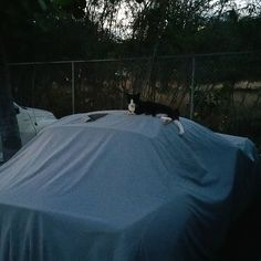 Bob the crazy feral cat has claimed the Z4 in the name of the nights watch! Haha seriously though he sleeps there every night!  #protecautocare #cat #car #guard #everyonelovesbob #bmw #z4 #carcover #carrepair #nofilter #followus
