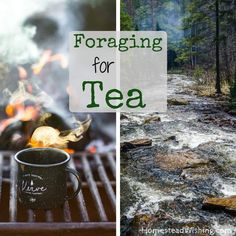 Featuring sassafras, pine needle, red clover, blueberry leaf, & raspberry leaf recipes. Foraging for tea is pretty easy, it take just a few simple steps.