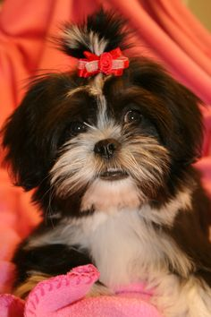 Lhasa Apso puppy - Snuggles