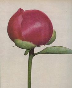 One flower every day is more than enough for Clarimonde (Irving Penn)