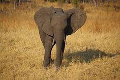 Jeune Éléphant, Zimbabwe, Afrique