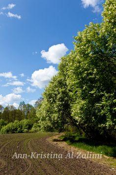 Ann-Kristina Al-Zalimi, spring, kevät, pelto, field, tuomi kukkii, may, maj, toukokuu, prunus padus, hägg, tuomi