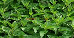 Amazing Ingredients of Nettle: See What Does to the Body … - Your Healthy Tips Herbs For Health, Healthy Herbs, Healthy Tips, Insecticide Bio, How To Make Hair, Herbal Remedies, Farmer, Herbalism, Seeds