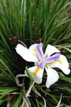 Walking Iris, spring flowers in North Central Florida  http://boskybelle.com/2014/03/a-thing-called-spring/