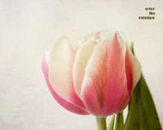tulips soft paintings | Tulip photograph, Nature photography, Pastel Pink Tulip, Flower print ...