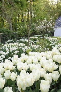 white tulips in a moon garden White Tulips, White Flowers, Spring Bulbs, White Gardens, Dream Garden, Daffodils, Garden Inspiration, Beautiful Gardens, Planting Flowers